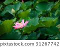 蓮花 花 花朵 31267742