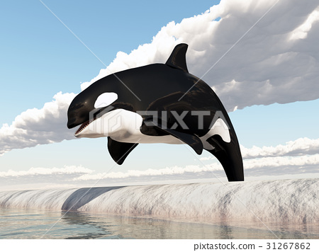 Jumping killer whale 31267862