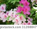 櫻花杜鵑花 31268847