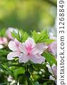 櫻花杜鵑花 31268849