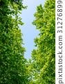 신록의 나무와 푸른 하늘 31276899