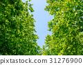 신록의 나무와 푸른 하늘 31276900