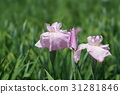 japanese iris, start of the rainy season, omiya 31281846