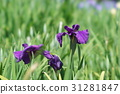 japanese iris, iris, start of the rainy season 31281847