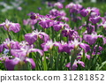 japanese iris, iris, start of the rainy season 31281852