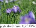 japanese iris, start of the rainy season, omiya 31281857