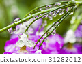 Fresh purple flower with dewdrops closeup.  31282012