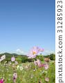 คอสมอส,ดอกไม้,สดใส 31285923