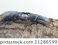 鍬形蟲 鋤頭形頭盔 日本大鍬形蟲 31286599