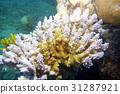 산호, 상어, 피쉬 31287921