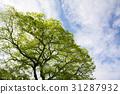 綠樹和藍天 31287932