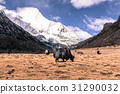 black Himalayan yak at field agains snow mountain 31290032