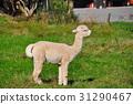 Alpaca on green grass 31290467