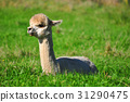 Alpaca on green grass 31290475