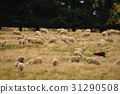 Sheep farm in New Zealand 31290508