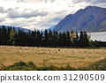 Sheep farm in New Zealand 31290509