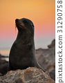 Fur seal in sunset 31290758