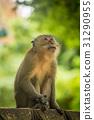 Monkey 31290955
