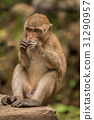 动物 猴子 单个 31290957