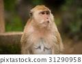 动物 猴子 单个 31290958