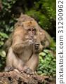 动物 猴子 单个 31290962