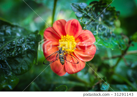 Bee on red flower. Top view. 31291143