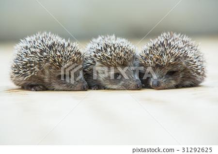 Three little Hedgehog portrait 31292625