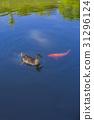 오리, 연못, 잉어 31296124