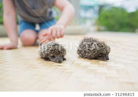 Little boy playing with hedgehog 31296815