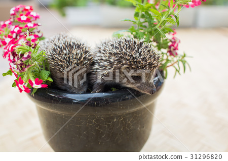 Two Hedgehog in pot flowers 31296820