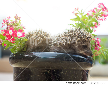 Two Hedgehog in pot flowers 31296822
