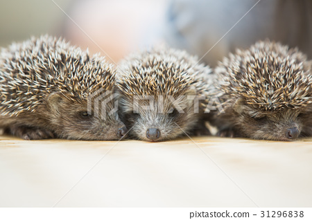 Three little Hedgehog portrait 31296838