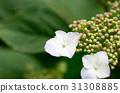hydrangea, flower, bud 31308885