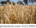 台灣台南學甲麥田Asia Taiwan Tainan wheat field 31313964