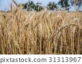台灣台南學甲麥田Asia Taiwan Tainan wheat field 31313967