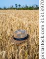 台灣台南學甲麥田Asia Taiwan Tainan wheat field 31313970