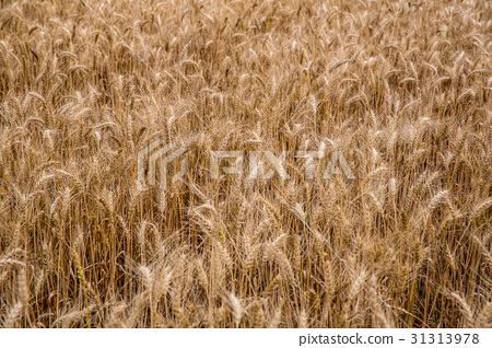 台灣台南學甲麥田Asia Taiwan Tainan wheat field 31313978
