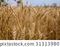 台灣台南學甲麥田Asia Taiwan Tainan wheat field 31313980