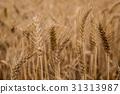 台灣台南學甲麥田Asia Taiwan Tainan wheat field 31313987