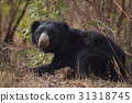 animal, bear, black 31318745