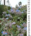 紫草科 花朵 花 31324381