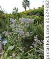 紫草科 花朵 花 31324382