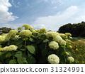 安娜貝爾 繡球花 公園樹 31324991