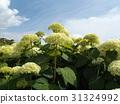 安娜貝爾 繡球花 公園樹 31324992