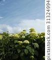安娜貝爾 繡球花 公園樹 31324994