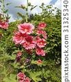 蜀葵 引進物種 花朵 31325340