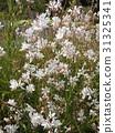 高拉 花朵 花 31325341