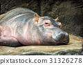 Hippo - Hippopotamus amphibius resting 31326278