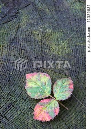 Autumn red raspberry leaf 31326683