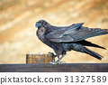 Common Raven sitting on a wooden beam, close up 31327589